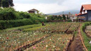 wisata bunga cihideung
