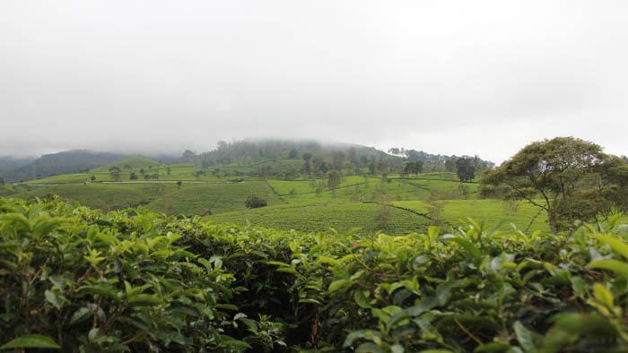 perkebunan teh malabar