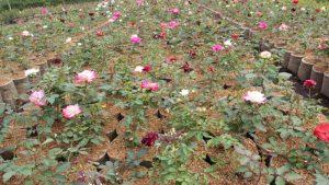 bunga di cihideung